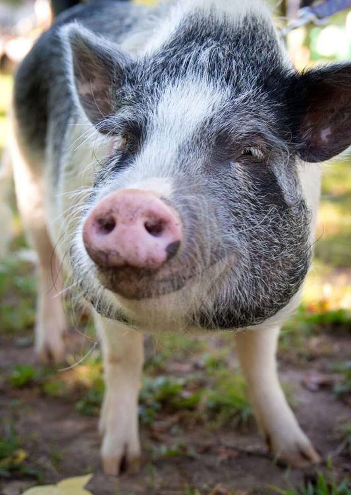 HearstConnecticut HR business partner, Kate Evans' Potbelly Pig named Penny is 3.5 years old and 90 lbs of mischief. Pigs are the 4th smartest animal and she has the cognitive ability of a 3 year old human.