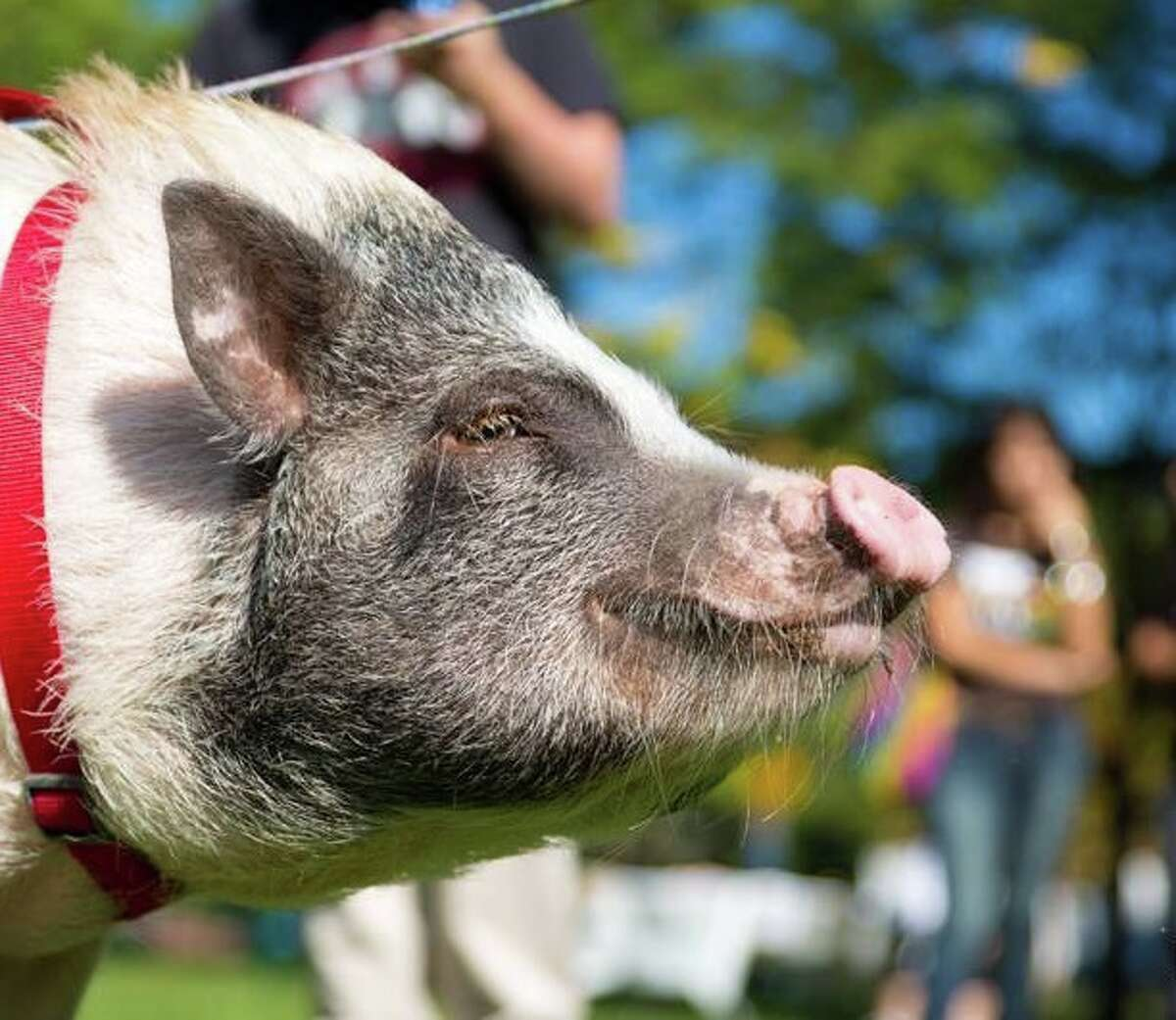 Hearst Connecticut HR business partner, Kate Evans' Potbelly Pig named Penny is 3.5 years old and 90 lbs of mischief. Pigs are the 4th smartest animal and she has the cognitive ability of a 3 year old human.