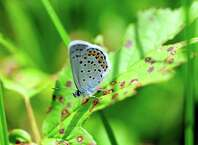 A recently released Karner Blue butterfly rests on a plant at the Albany Pine Bush Preserve  on Wednesday, July 9, 2014, in Albany, N.Y.   This  butterfly is part of a breeding program at the center.    (Paul Buckowski / Times Union)