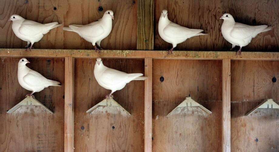 Thomas Kapusta, 63, of Westbury, N.Y., kept racing pigeons, like these seen in a file photo, in a coop at his mother's home Photo: Sean D. Elliot / The Day Via AP / 2011 The Day Publishing Company
