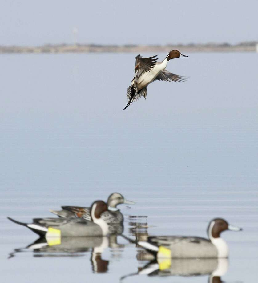 Twenty-five years after lead shot was banned nationwide for use in waterfowl hunting, ducks continue to ingest the toxic spent pellets. A recent study of pintails wintering on the Texas coast found 3 percent had lead shot in their gizzards. Photo: Picasa
