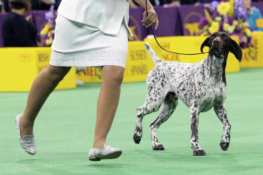 C.J., a German shorthaired pointer, walks with his handler during the sporting group competition at the 140th Westminster Kennel Club dog show in New York before winning best in show. Photo: Mary Altaffer / Mary Altaffer / Associated Press / AP