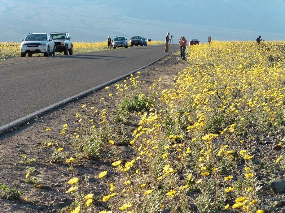 "For the first time in a decade, Death Valley National Park is experiencing a ""super bloom."" when millions of flowers blanket the desert floor. Photo: National Park Service"