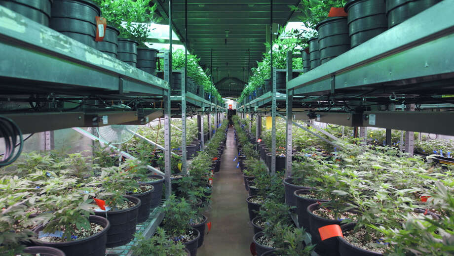 """Racks of marijuana as far as the eye can see in a scene from """"Rolling Papers."""" Photo: Alchemy"""