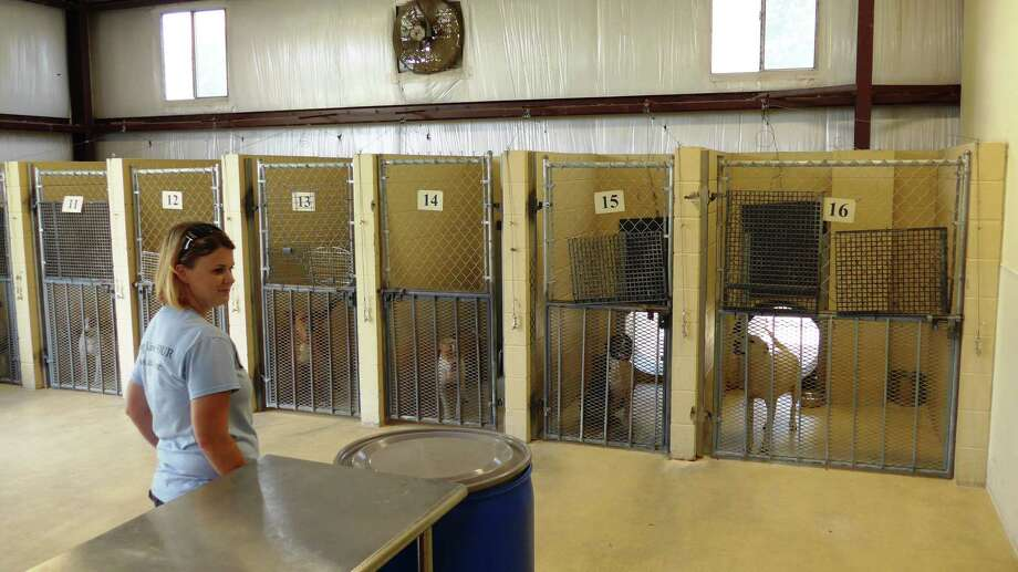 Kirby Animal Services Manager Christie Banduch surveys dogs in the city's kennel on Wednesday July 22. The kennel will be expanded next year to become Bexar County's animal care facility. Photo: John W. Gonzalez / San Antonio Express-News