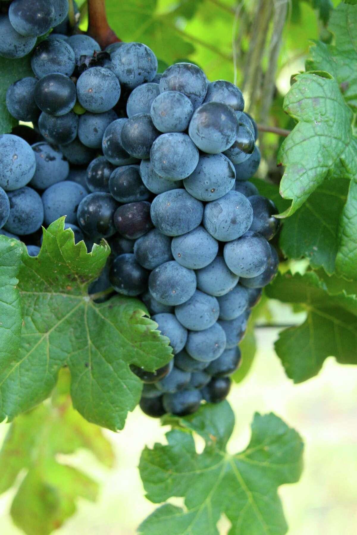 Grapes on the vine at Pedernales Cellars.