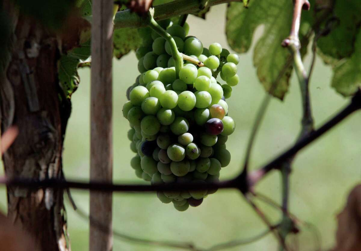 Grapes ripen in a Texas vineyard