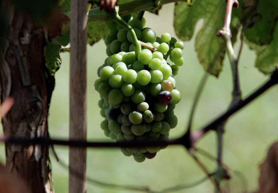 Grapes ripen in a Texas vineyard Photo: Express-News File Photo / DELCIA LOPEZ PHOTOGRAPHY©