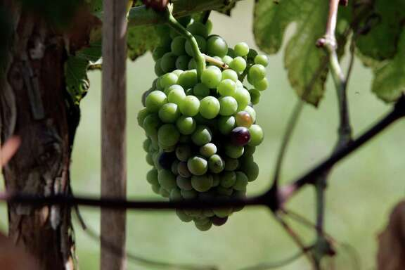 Grapes ripen in a Texas vineyard