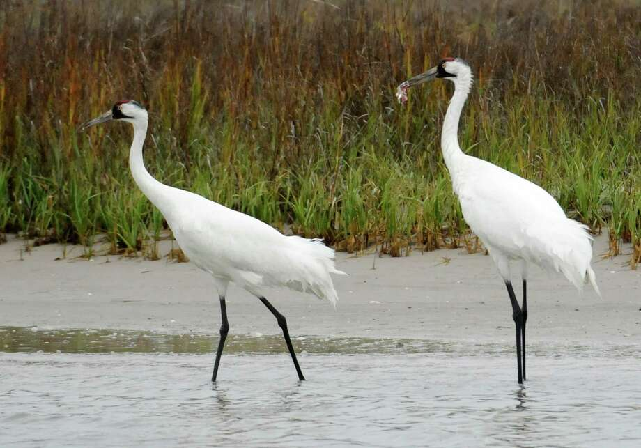 A pair of whooping cranes walk through shallow marsh water looking for food in 2011, near the Aransas Wildlife Refuge in SouthTexas. Photo: Pat Sullivan /Associated Press / AP