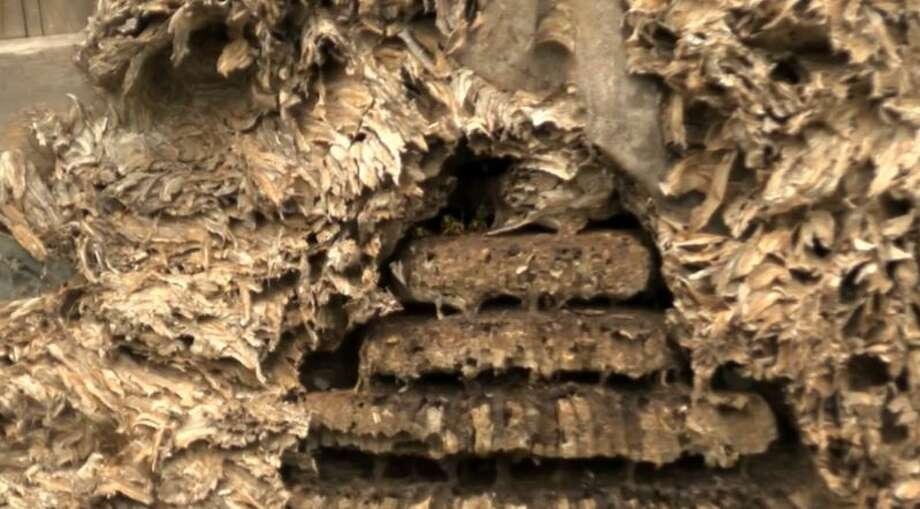 A large hornets' nest has developed in a trailer near a home in Alto, Texas. The trailer had remained undisturbed for at least 10 years. Photo: Inform.com, Courtesy