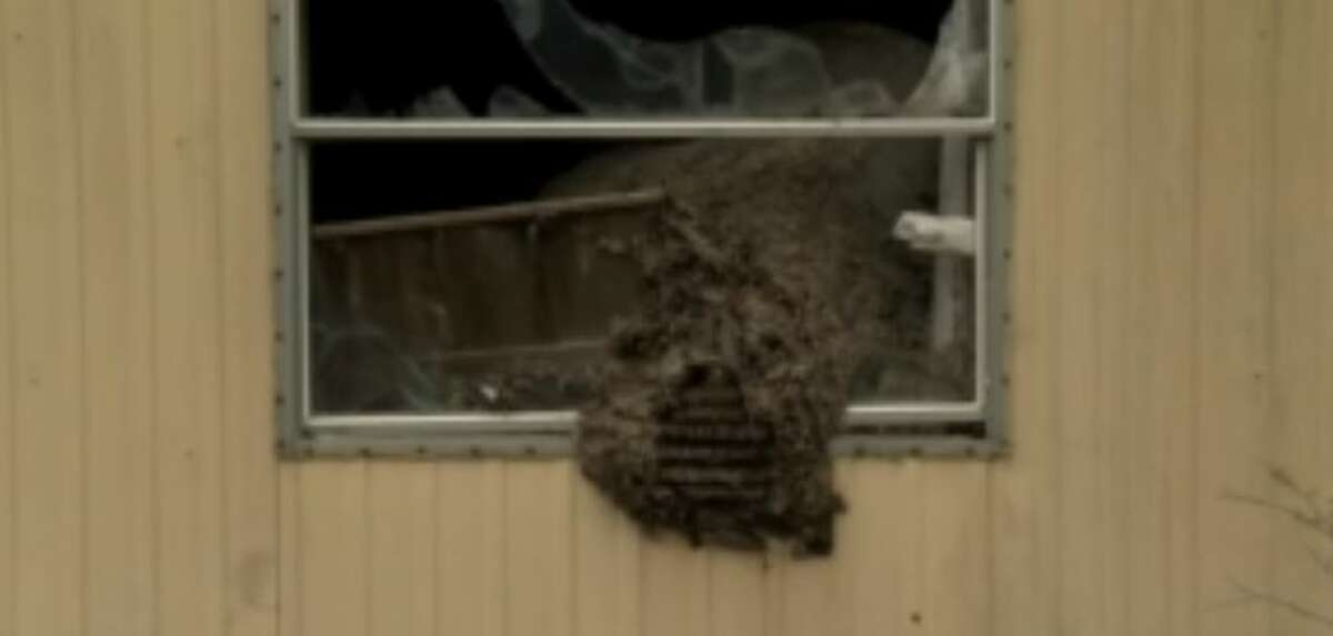 A large hornets' nest has developed in a trailer near a home in Alto, Texas. The trailer had remained undisturbed for at least 10 years.