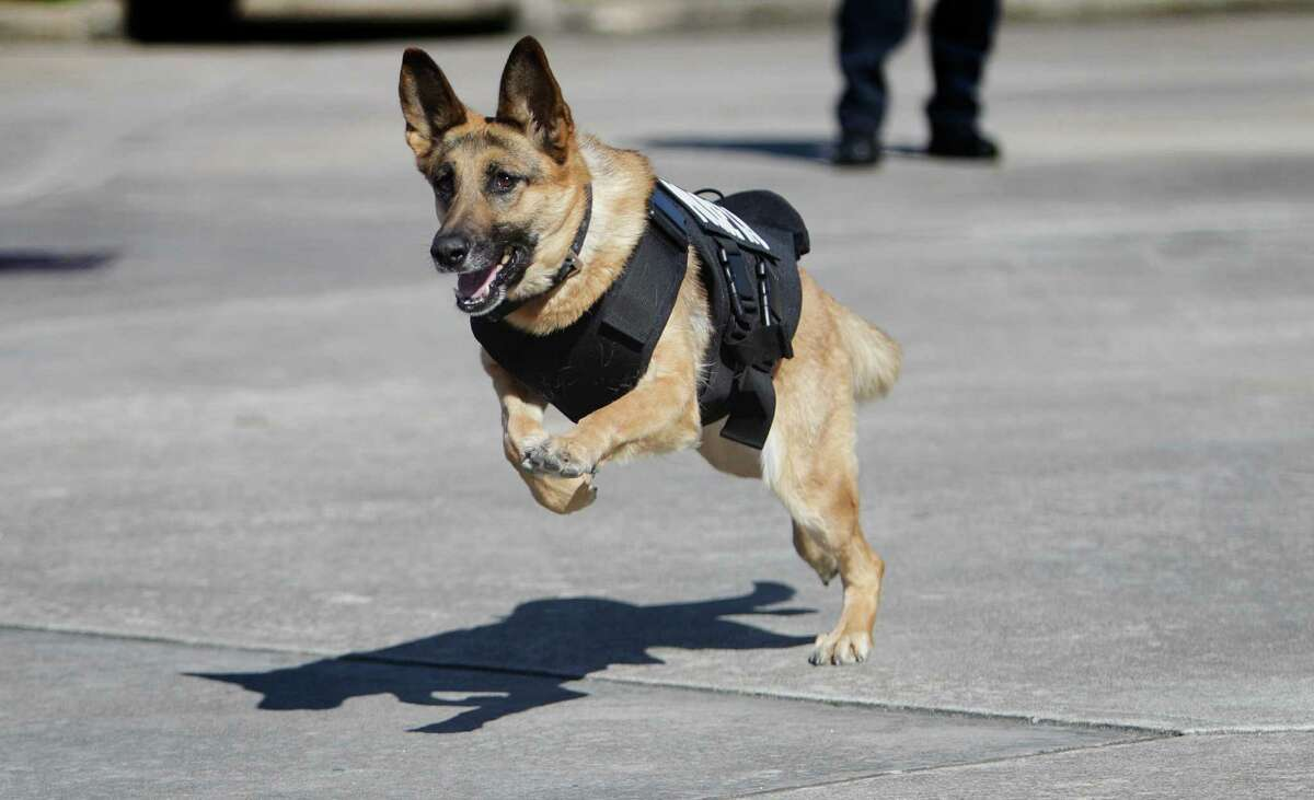 K9 Officer, Jackie, received a bullet/stab proof vest from an anonymous donor Wednesday, Feb. 24, 2016, in Richmond. Officer Todd Ganey is with her had her chasing her toy