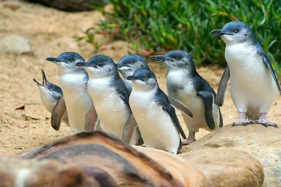 Blue Penguins are the smallest penguins in the world. In recent years, their population has been decreasing and scientists believe that warming oceans are causing this shift.  Photo: Vito Elefante, Getty