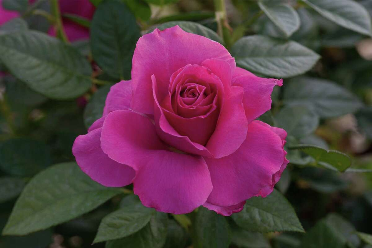 The Houston Rose Society will hold its annual rose sale 9 a.m.-3 p.m. April 2 at the St. Andrews Bazaar, 1819 Heights Blvd.