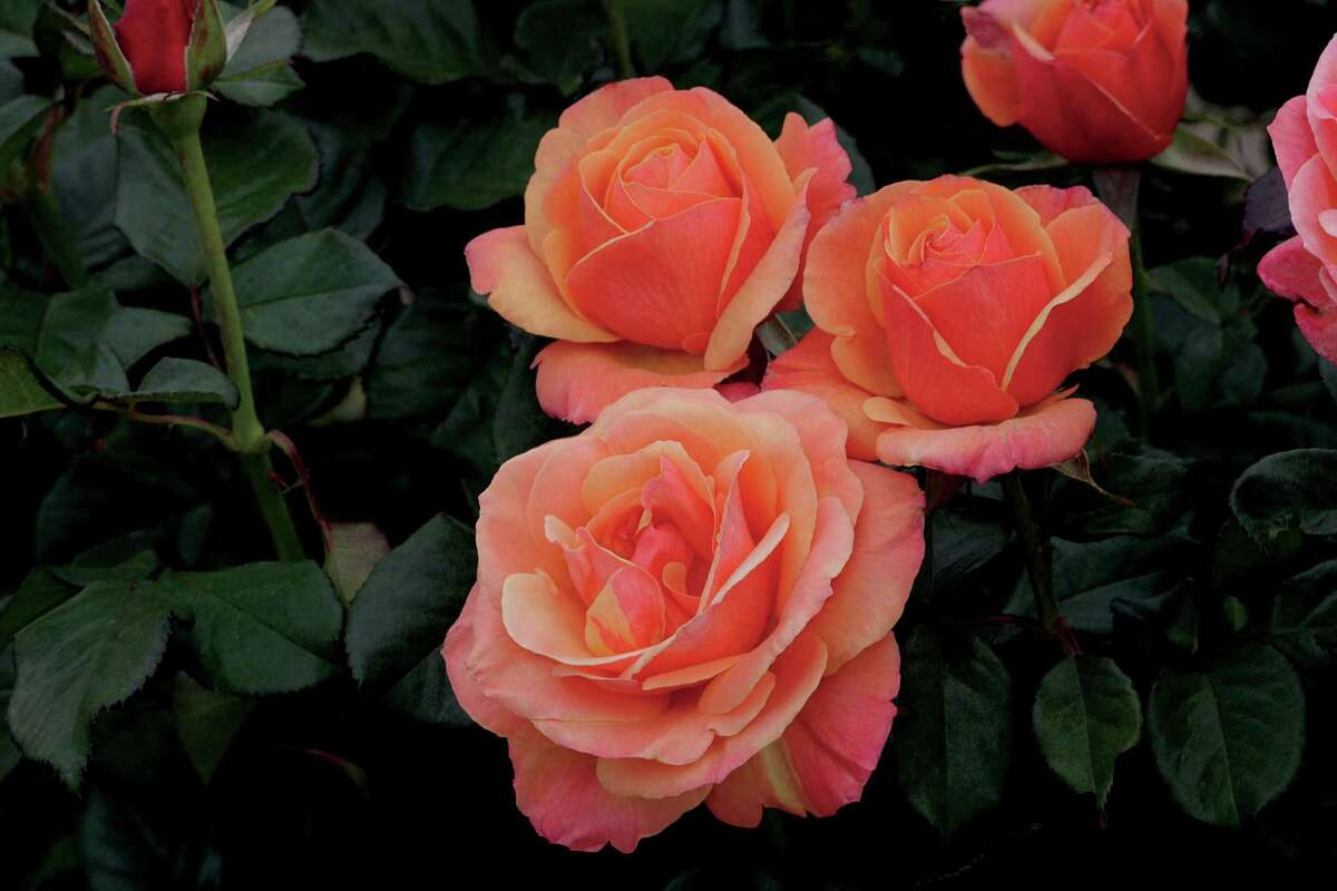 The Houston Rose Society will hold its annual rose sale 9 a.m.-3 p.m. Saturday at the St. Andrews Bazaar, 1819 Heights Blvd.