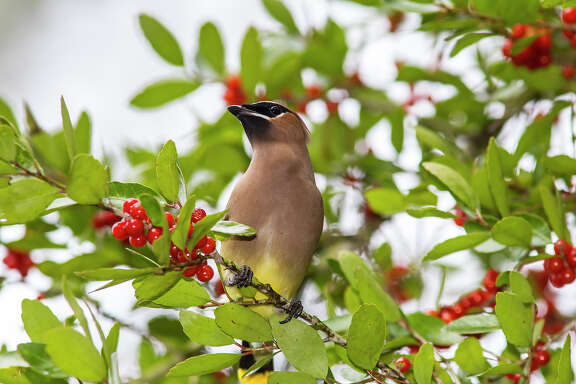 Cedar waxwings are in the area for the winter.  They behave like nomads feeding on yaupon berries and other natural fruit.  Photo Credit:  Kathy Adams Clark.  Restricted use.