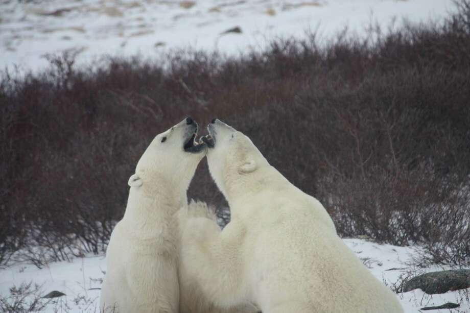 Kathy Adams of Missouri City submitted this vacation photo taken in Churchill, Manitoba. Photo: Kathy Adams / Kathy Adams