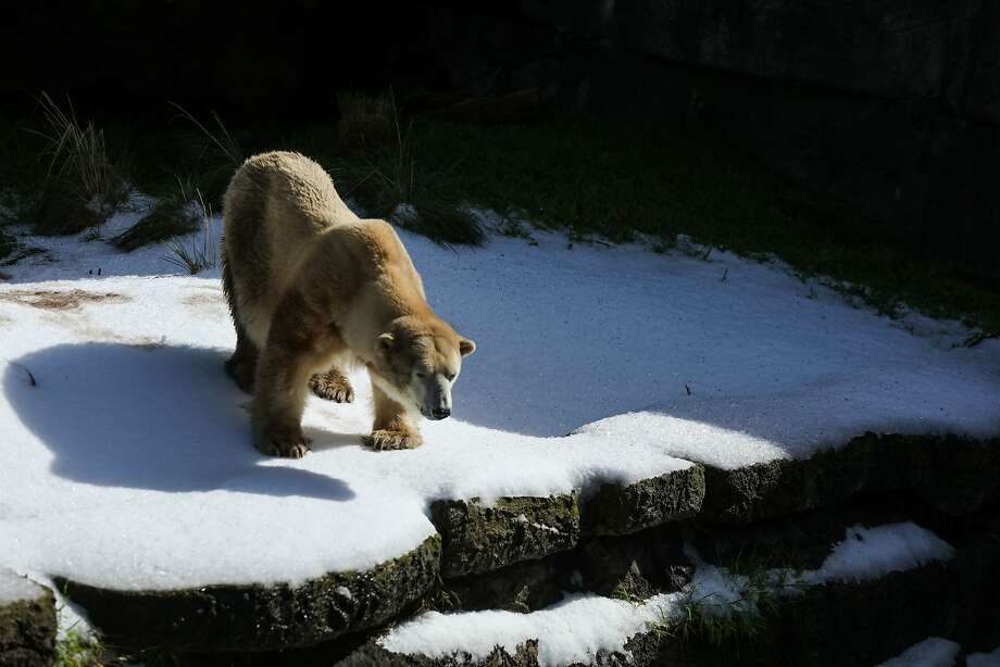 Uulu, one of the oldest polar bears in captivity at age 35, came out to a investigate the snow that had been put in her habitat, to celebrate International Polar Bear Day, at the San Francisco Zoo, in San Francisco, California on Saturday February 27, 2016. Photo: Gabrielle Lurie, Special To The Chronicle