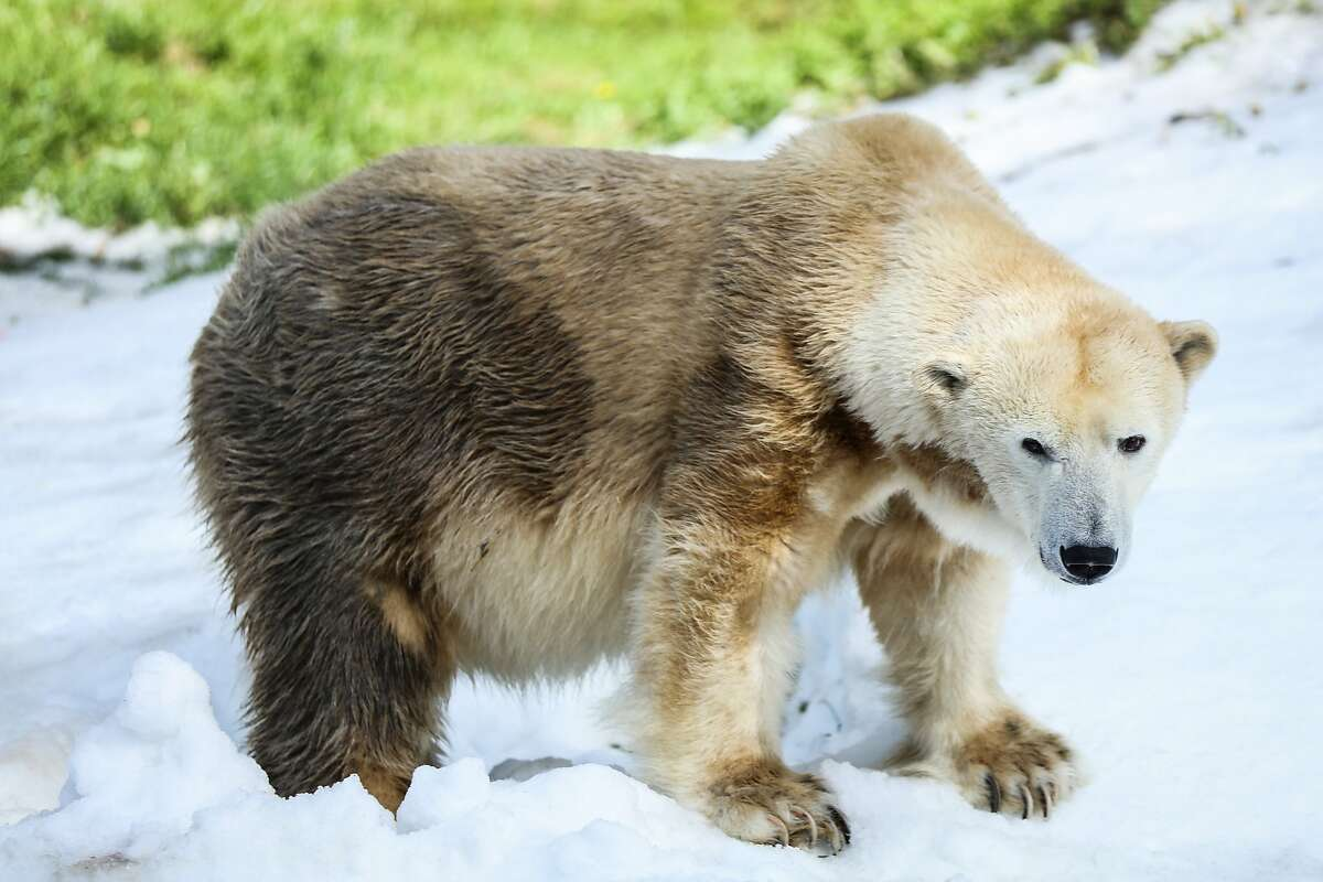 Uulu explored the fresh snow in her habitat, at the San Francisco Zoo, in San Francisco, California on Saturday February 27, 2016. Uulu, the only polar bear at the San Francisco Zoo, had been at the zoo since 1985.