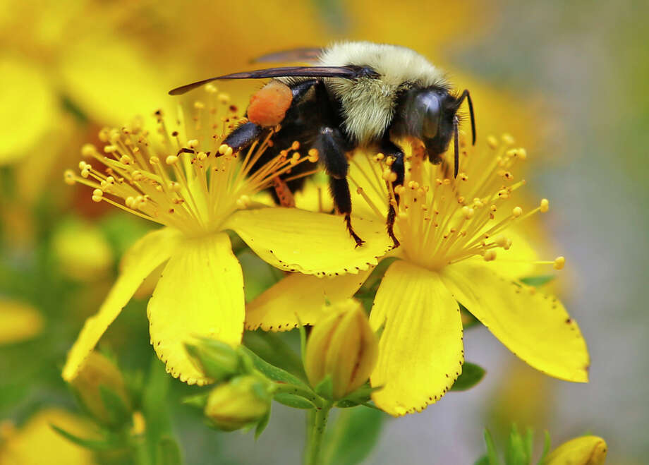 A bumblebee gathers nectar on a wildflower in Appleton, Maine. A United Nations-sponsored report warns that too many species of pollinators are nearing extinction. These are bees, butterflies, some birds and 20,000 other species that are crucial to the world's food supply.  Photo: Robert F. Bukaty, STF / AP