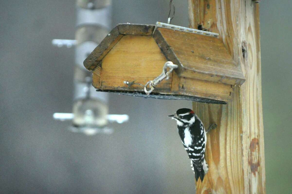 A male downy woodpecker feeds on suet on Wednesday, Dec. 30, 2015, at Five Rivers Environmental Education Center in Bethlehem, N.Y. The center hosted a Kids?' Holiday Bird Count where young birders and their families were invited to participate in a less rigorous version of the worldwide Christmas bird count. (Cindy Schultz / Times Union)