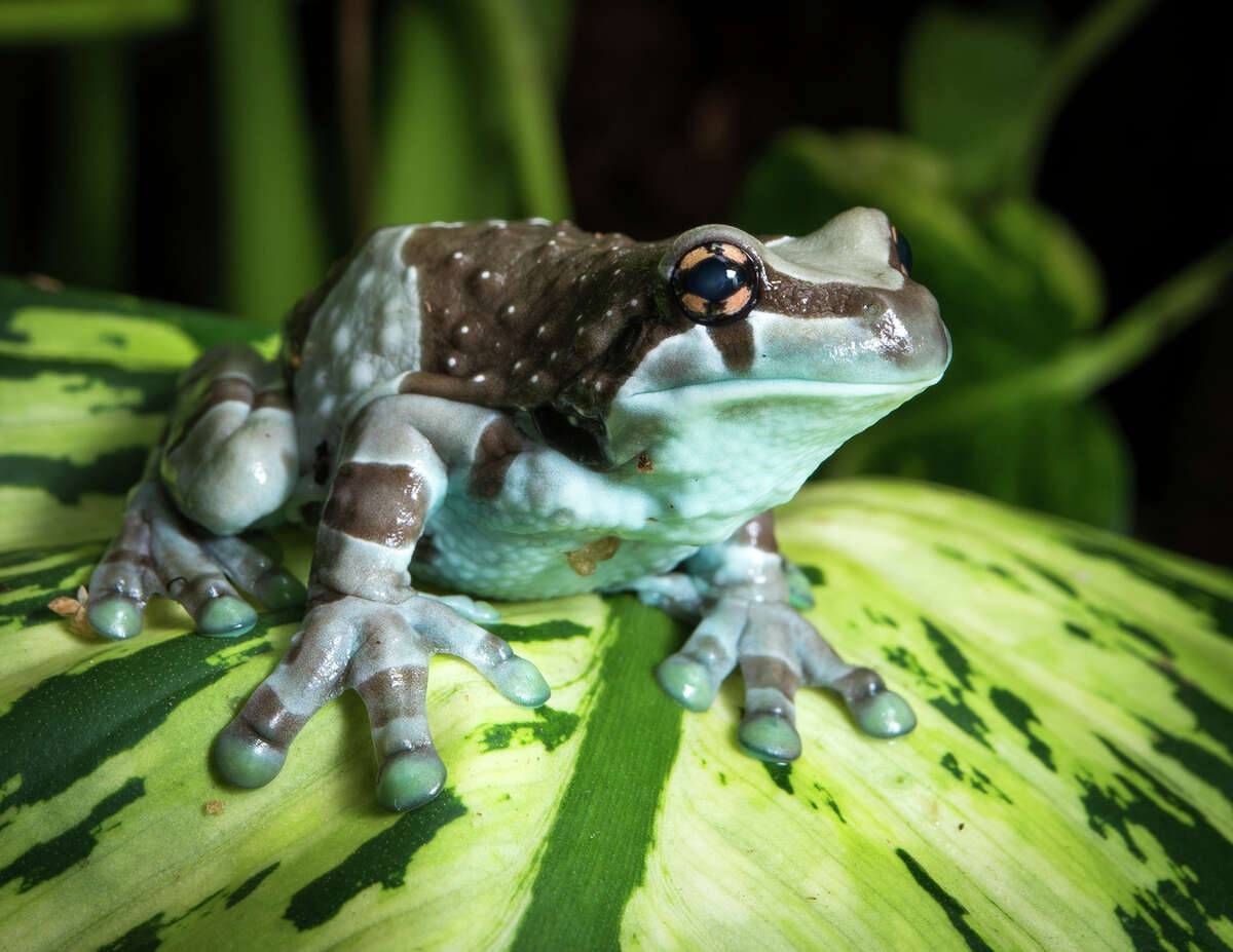 Fact: Amphibians include frogs and toads, newts and salamanders, and caecilians. Photo: Amazon milk frog.
