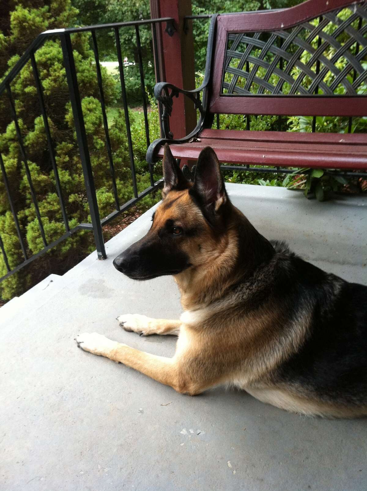 This is Sasha. She is a fun loving, energetic, and protective German shepherd who loves to play Frisbee!