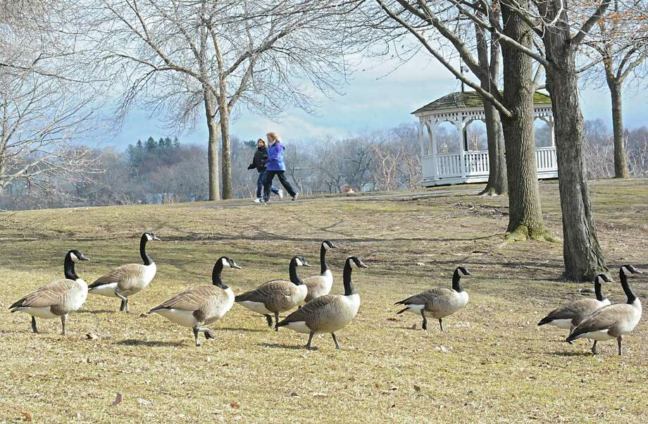 Pedestrians walk past geese at the Corning Preserve on Monday, Feb. 29, 2016 in Albany N.Y. (Lori Van Buren / Times Union) Photo: Lori Van Buren