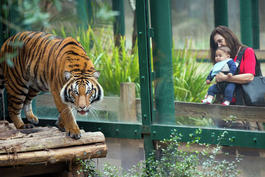 Berani, a three-year-old Malayan tiger, made its Houston Zoo debut Tuesday, March 1, 2016. Photo: Stephanie Adams, Stephanie Adams | Houston Zoo / © Stephanie Adams, Houston Zoo