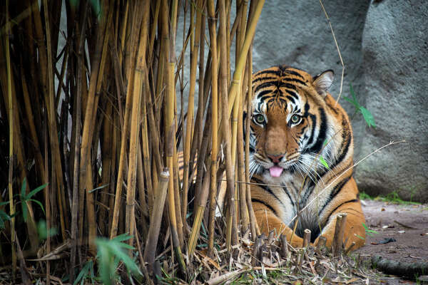 Berani, a three-year-old Malayan tiger, made its Houston Zoo debut Tuesday, March 1, 2016.