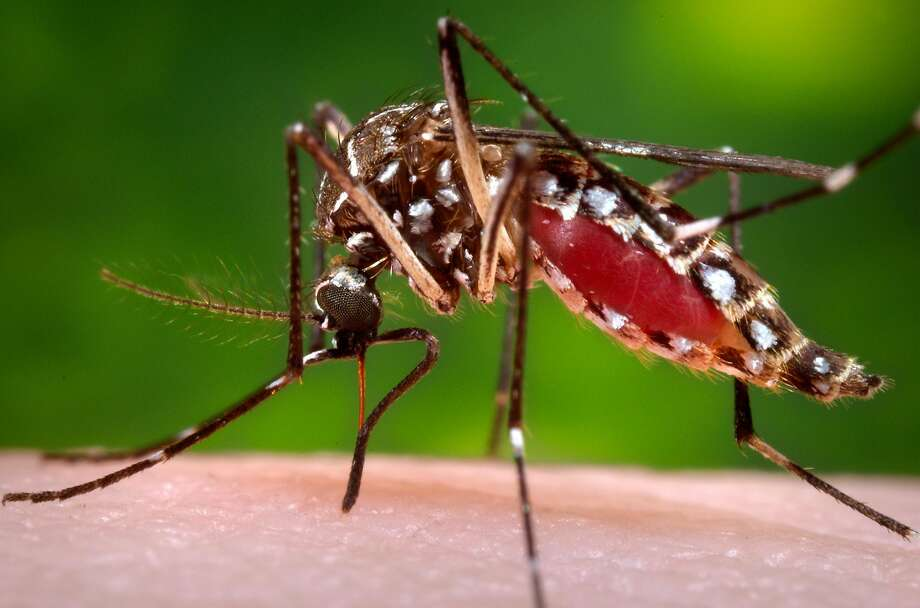 This 2006 photo provided by the Centers for Disease Control and Prevention shows a female Aedes aegypti mosquito in the process of acquiring a blood meal from a human host. On Friday, Feb. 26, 2015, the U.S. government said Zika infections have been confirmed in nine pregnant women in the United States. All got the virus overseas. Three babies have been born, one with a brain defect. (James Gathany/Centers for Disease Control and Prevention via AP) Photo: James Gathany, Associated Press