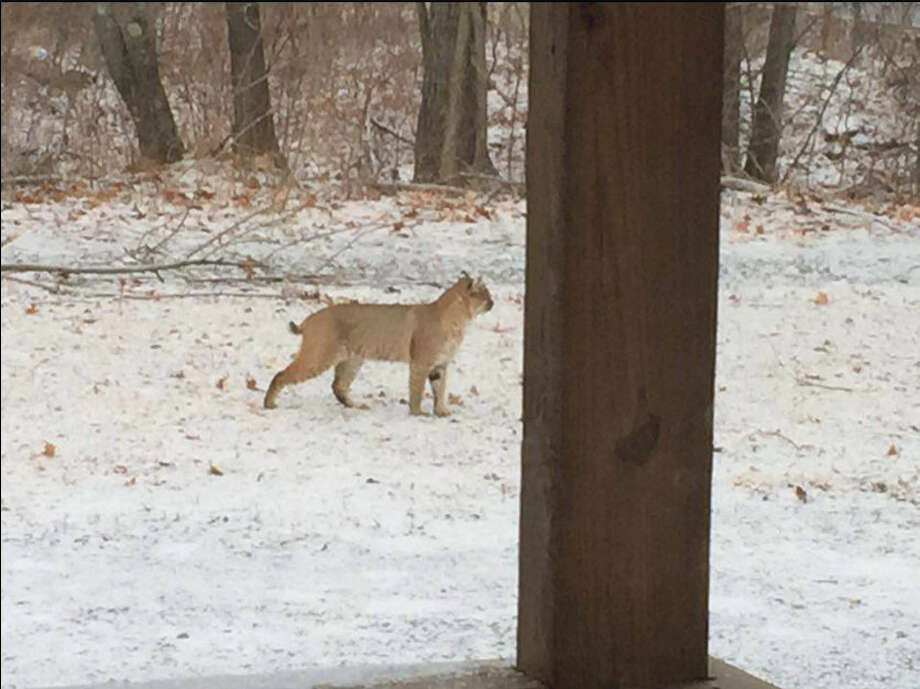 Click through the slideshow to view photos of wild animals spotted in our area. This bobcat was spotted earlier in the year in Knox. Photo: NYSDEC