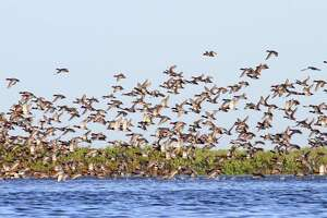 While the Texas coast still winters the majority of the continent's redhead ducks, changes in habitat quality and quantity have triggered a shift in overall duck distribution, resulting in inland regions such as the Rolling Plains replacing the coast as the state's top waterfowl wintering area.