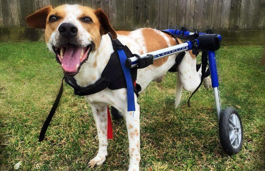 A Houston couple discovered a community of pet owners just like them after their dog Spot was paralyzed in a shooting incident in East Texas. Photo: Maurice Duhon /Dariel McKey