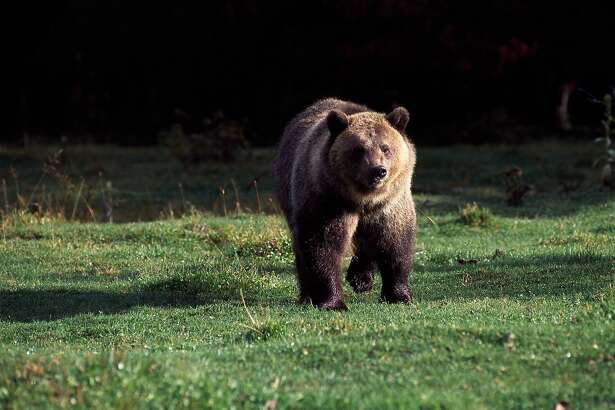 A grizzly bear in Glacier National Park, Montana, 2014.