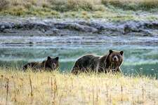 A Grizzly bear mother and her cub walk near Pelican Creek October 8, 2012 in the Yellowstone National Park in Wyoming.Yellowstone National Park is America's first national park. It was established in 1872.