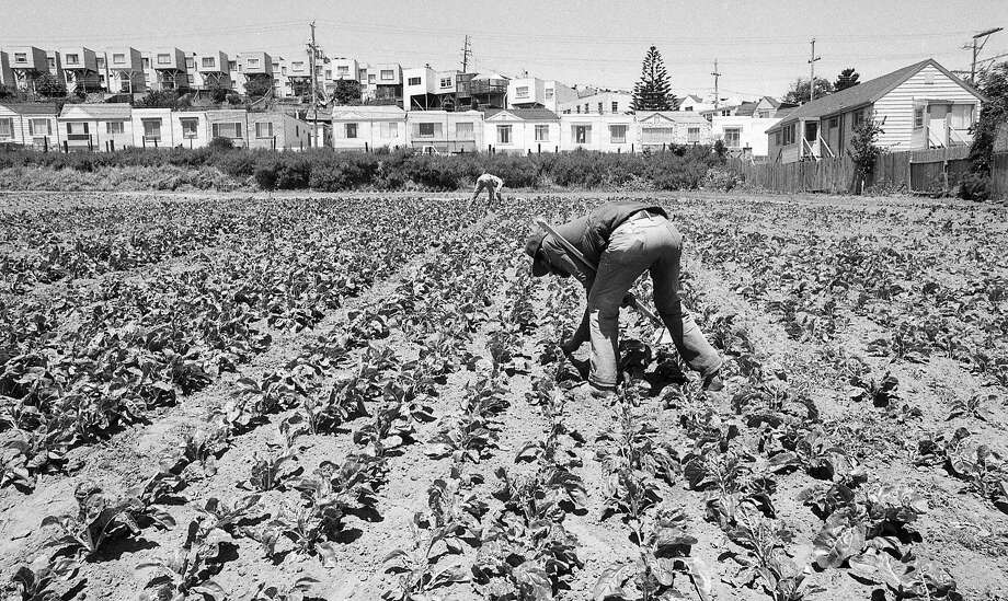 A worker gathers crops at San Francisco's last working commercial farm in 1988. Started by the DeMattei family in the early 1900s, the farm withstood urban encroachment for years. Photo: Bryan Moss, The Chronicle