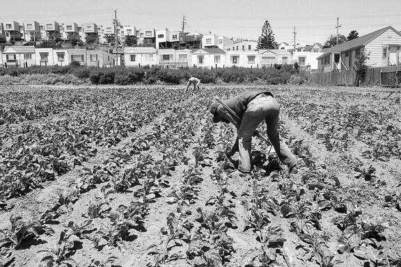 June 2, 1988: Crops are gathered on San Francisco's last self-sustained working farm. The Bayview farm closed in 1991.