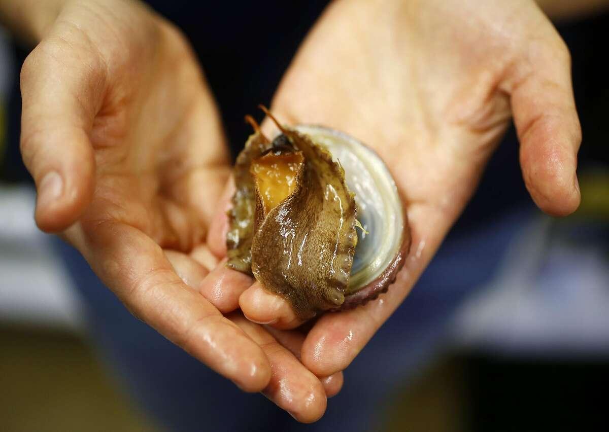 Kristin Aquilino holds an endangered white abalone at the Bodega Marine Laboratory in Bodega Bay, California, on Wednesday, March 2, 2016.