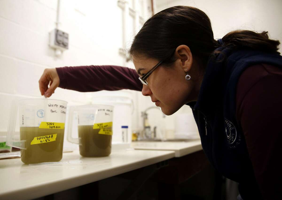 Kristin Aquilino fertilizes a mixture of abalone sperm and eggs during the artificial fertilization process of endangered white abalone at the Bodega Marine Laboratory in Bodega Bay, California, on Wednesday, March 2, 2016.