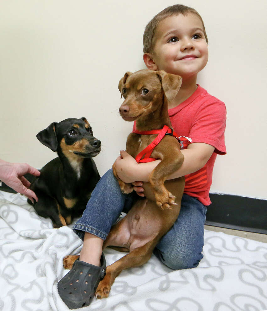 Parker Dominguez, 3, with three-month-old Thor (right) and his brother Hercules, dachshund mix puppies born with angular limb deformities, at the San Antonio Pets Alive clinic, 9107 Marbach Rd., Suite, 109, on Thursday, March 3, 2016. MARVIN PFEIFFER/ mpfeiffer@express-news.net