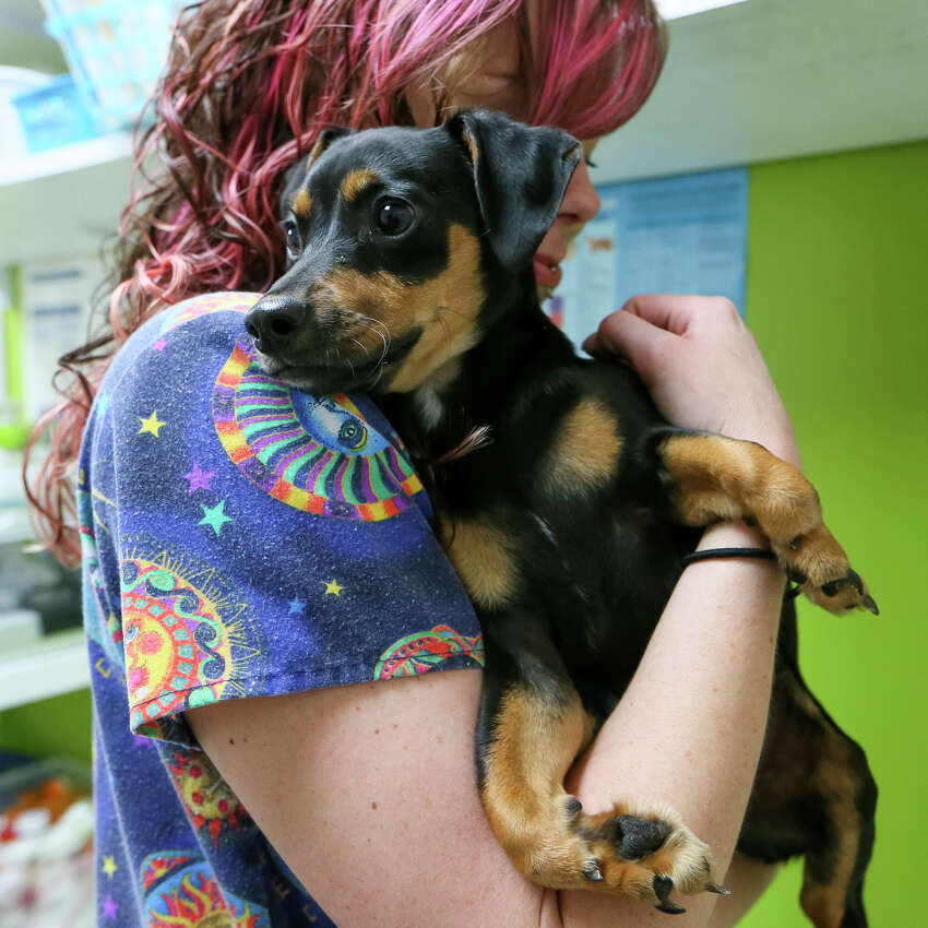 Assistant clinic manager Kylie Brasher holds Hercules, a three-month-old dachshund mix puppy born with angular limb deformities, at the San Antonio Pets Alive clinic, 9107 Marbach Rd., Suite, 109, on Thursday, March 3, 2016. MARVIN PFEIFFER/ mpfeiffer@express-news.net