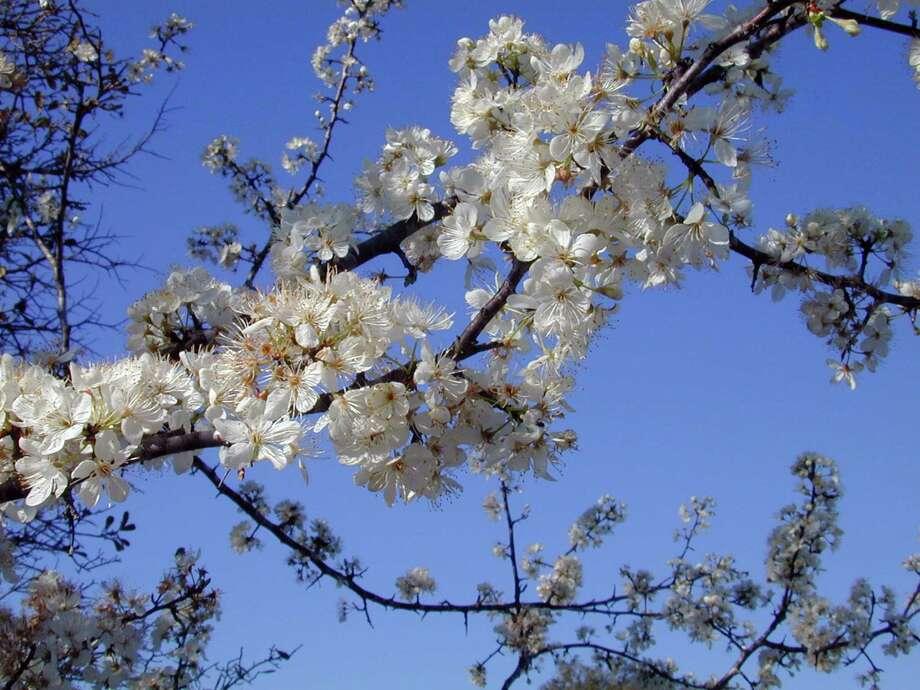 Chinese fringe tree Photo: Joseph A. Marcus / DirectToArchive