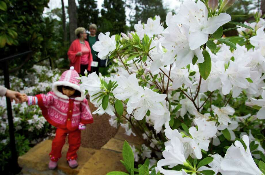 Mika Nonaka walks past blooms of azaleas at 56 Tiel Way during the River Oaks Garden Club's annual Azalea Trail Home & Garden Tour Friday, March 9, 2012, in Houston. The tour runs through Sunday. ( Brett Coomer / Houston Chronicle ) Photo: Brett Coomer, Houston Chronicle / © 2012 Houston Chronicle
