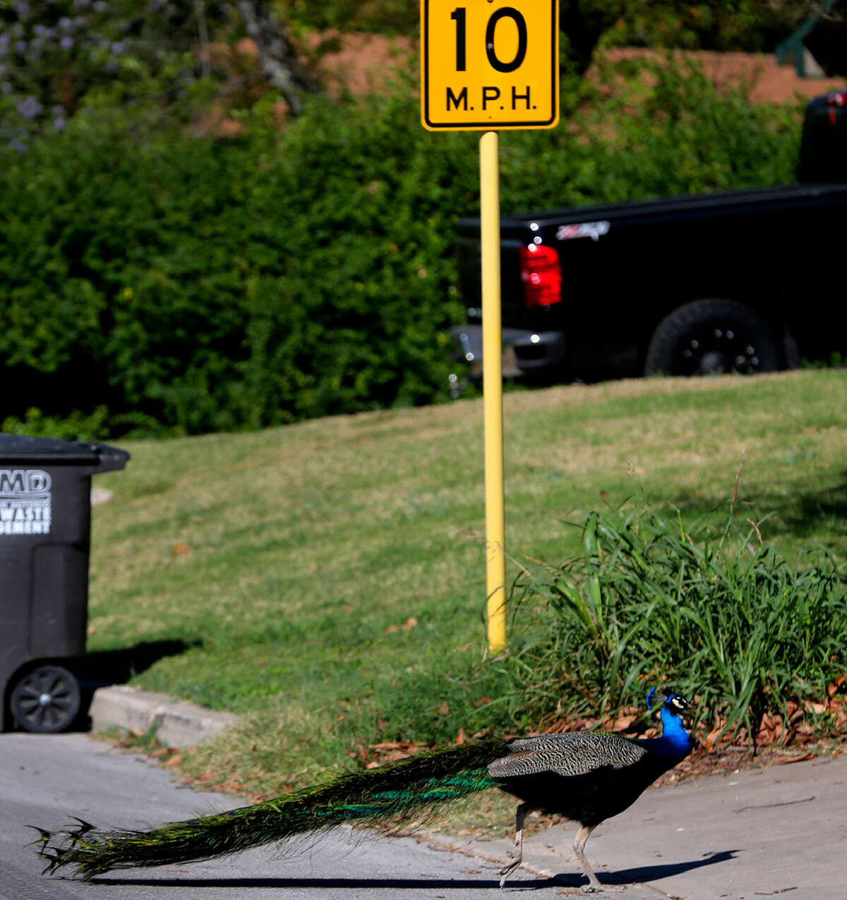A peacock crosses the road Friday March 4, 2016 on the 4800 block of Lyceum near the Medical Center. Neighbors in the area said dozens of peacocks have been living in the area for more than 30 years and the birds are especially vocal around this time of year because it's mating season.