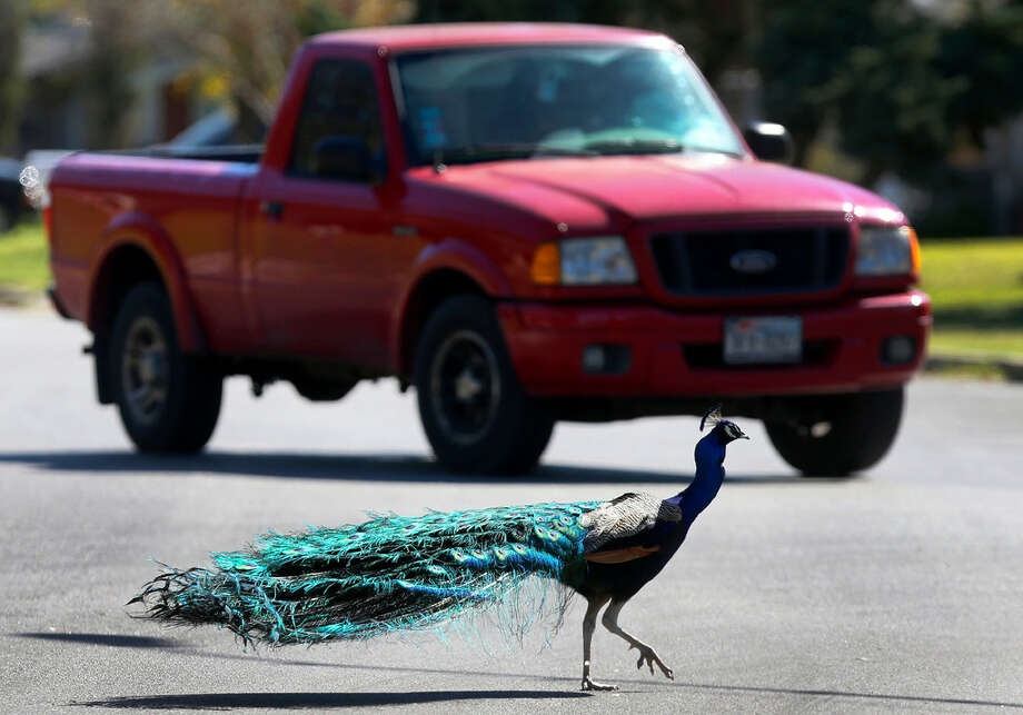 A peacock crosses the road Friday March 4, 2016 on the 4800 block of Lyceum near the Medical Center. Neighbors in the area said dozens of peacocks have been living in the area for more than 30 years and the birds are especially vocal around this time of year because it's mating season. Photo: John Davenport/San Antonio Express-News
