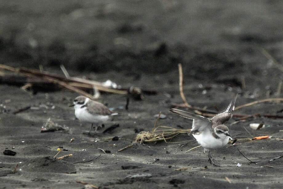 Western snowy plovers, listed as a threatened species, were spotted in record numbers on Ocean Beach, a winter stopping point for the birds, in January. Photo: Lea Suzuki Lea Suzuki, The Chronicle