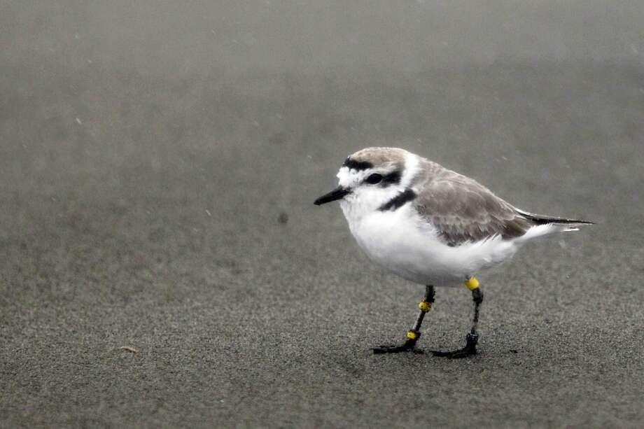 A snowy plover is seen on Ocean Beach on Friday, March 4, 2016 in San Francisco, California. Photo: Lea Suzuki Lea Suzuki, The Chronicle