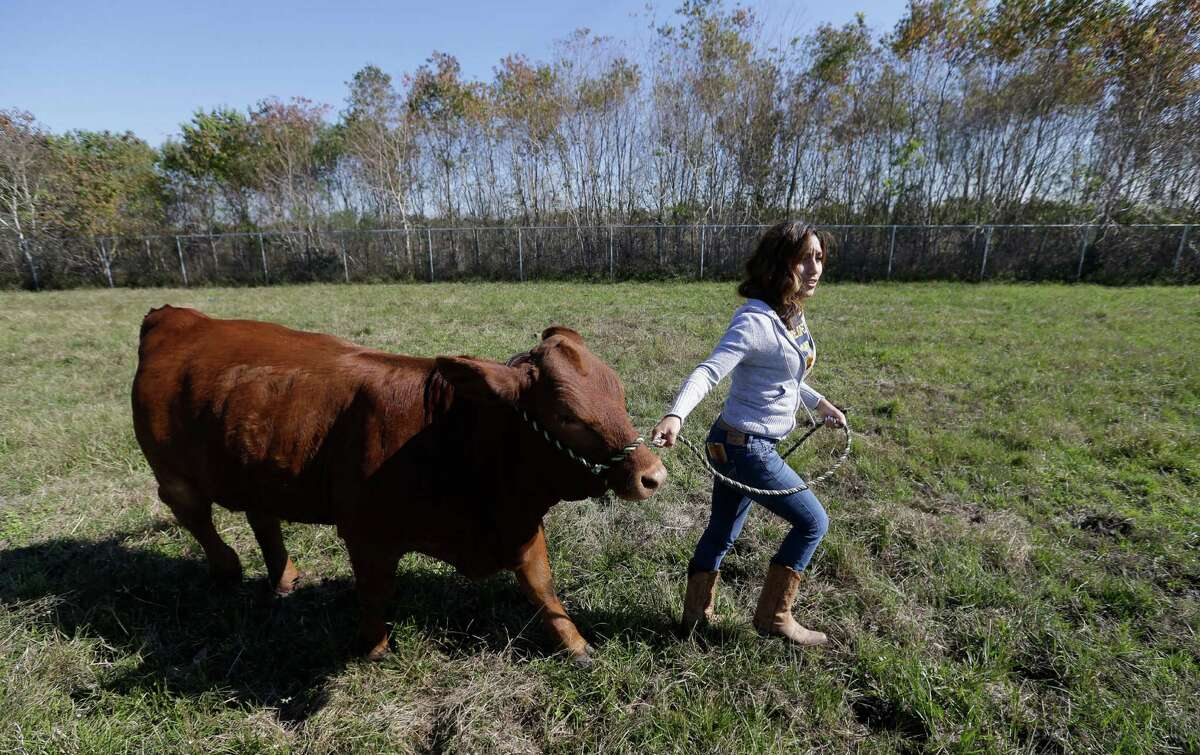 Karina Escobedo, a senior FFA member at Cesar Chavez High School, leads her Beefmaster calf named Sunflower to the barn Cesar Chavez's Future Farmers of America farm. Escobedo earned money to buy her calf by catching a calf last year at the rodeo.